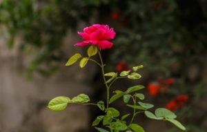 jak pielęgnować róże poradnik